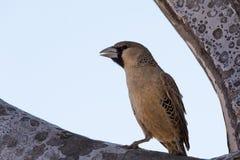 Птица ткача стоковая фотография