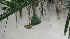 Птица ткача Baya стоковые изображения rf