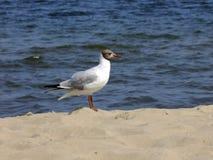 Птица, тройка, песок, море стоковые фотографии rf