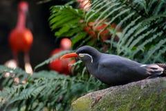Птица тройки Inca Стоковое фото RF