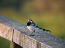 Птица трясогузки или Motacilla на загородке стоковая фотография rf