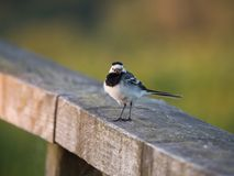Птица трясогузки или Motacilla на загородке стоковое изображение
