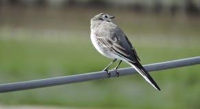 Птица трясогузки Стоковое фото RF