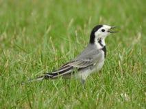 Птица трясогузок на траве стоковая фотография