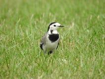 Птица трясогузок на траве стоковые изображения