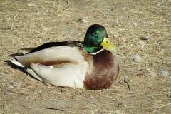 Птица утки лежа на сухой траве Стоковые Фотографии RF