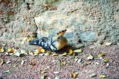 Птица удода Стоковая Фотография RF