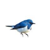 Птица (ультрамариновая мухоловка) изолированная на белой предпосылке Стоковое фото RF