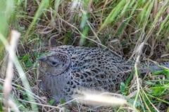 Птица фазана мужская в ландшафте дюн Стоковое Изображение