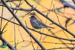 Птица фиолетового зяблика сидя на ветви дерева с желтой предпосылкой Стоковые Изображения RF