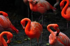 Птица фламинго в природе Стоковые Изображения