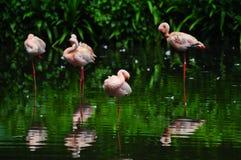Птица фламинго в природе Стоковая Фотография