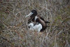 Птица фрегата матери и младенца от Галапагос стоковое фото rf