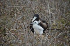 Птица фрегата матери и младенца от Галапагос стоковые фото