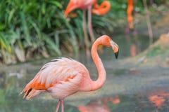 Птица фламингоа акватическая Стоковые Фото