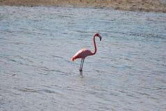 Птица фламингоа акватическая Стоковые Изображения