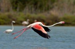 Птица фламингоа в естественной среде обитания Стоковое Изображение