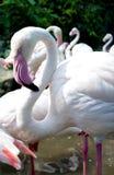 Птица фламингоа в зверинце Стоковая Фотография