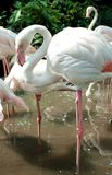 Птица фламингоа в зверинце Стоковые Изображения