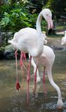 Птица фламингоа в зверинце Стоковая Фотография RF