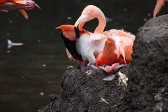 Птица фламинго гнездиться большая стоковое изображение rf