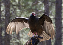 Птица хищника Турции грея на солнце на дереве Стоковое Изображение
