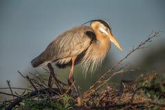 Птица цапли большой сини на гнезде стоковая фотография