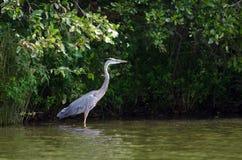 Птица цапли большой сини wading Стоковое Изображение RF