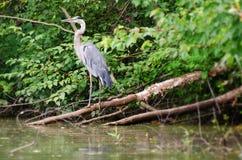 Птица цапли большой сини wading Стоковые Фотографии RF