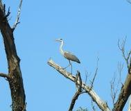 Птица цапли на ветви дерева, Литве Стоковые Фото