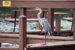 Птица цапли на пристани около воды Стоковая Фотография
