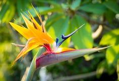 Птица цветка рая Стоковые Изображения RF