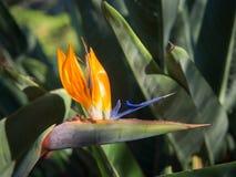 Птица цветка рая Стоковая Фотография RF