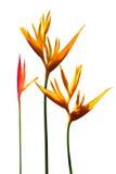 Птица цветков рая с белой предпосылкой Стоковые Фотографии RF