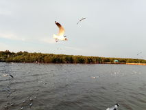 птица чайки моря от bangpoo Таиланда Стоковое Изображение