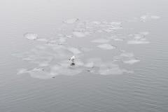 Птица чайки моря стоя на ледяном поле - Стоковые Изображения RF
