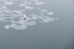 Птица чайки моря стоя на ледяном поле - Стоковые Фотографии RF
