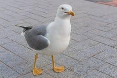 Птица чайки любознательно смотря камеру Стоковое Изображение RF