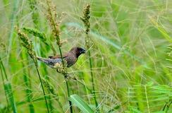 Птица (чешуистое-breasted Munia), Таиланд Стоковая Фотография RF