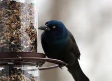 Птица шикарного общего grackle красочная есть семена от фидера семени птицы во время лета в Мичигане стоковые изображения rf