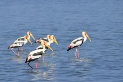 Птица Шри-Ланка Азии одичалая стоковое фото rf