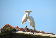 Птица Шри-Ланки Стоковое Фото