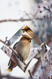 Птица шуршает на ветви замороженной одичалой яблони внутри Стоковые Фотографии RF