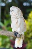 птица экзотическая Милый розовый какаду сидит на дереве ветви Живая природа b Стоковые Фотографии RF