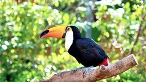Птица экзотического toco toucan в естественной обстановке и смотреть видеоматериал