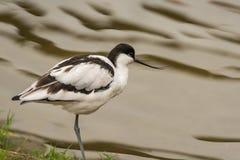 Птица Avocet wading Стоковое Изображение RF