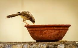 Птица & x28; babbler& x29; питьевая вода Стоковые Фотографии RF