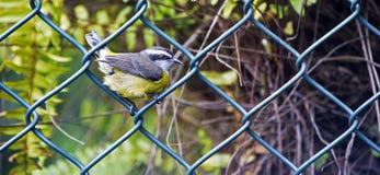 Птица Bananaquit садить на насест на решетке загородки стоковое фото rf