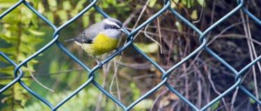 Птица Bananaquit садить на насест на решетке загородки стоковые изображения rf