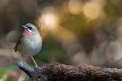Птица Beautyful красная throated стоковое фото